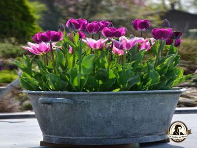 Quando devo plantar tulipas