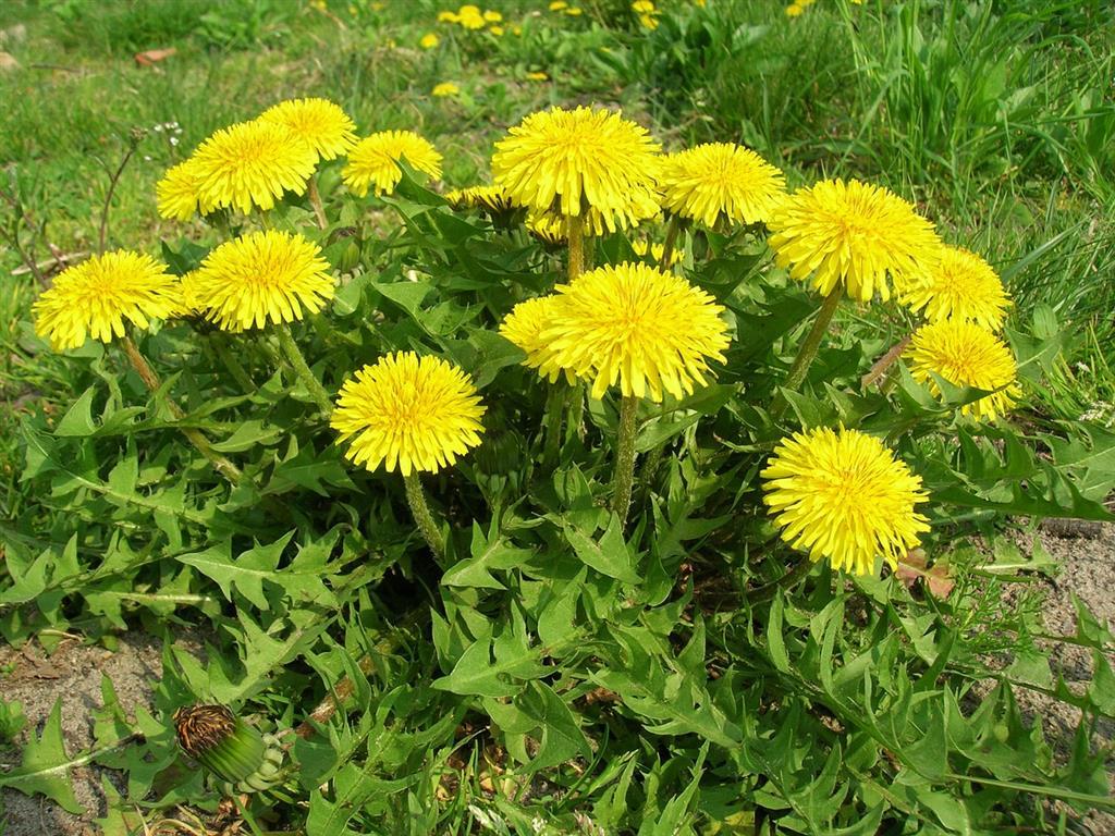 Flores comestíveis - Dentes de leão
