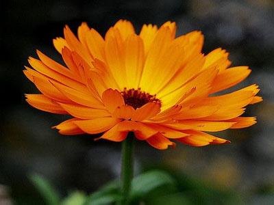 Flores de calêndulas
