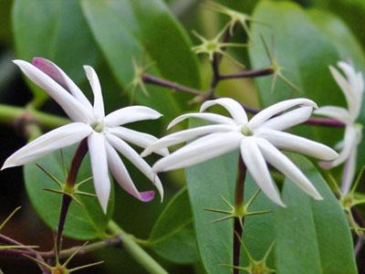 Flores de jasmim são comestíveis