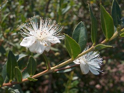 As flores de murta são comestíveis