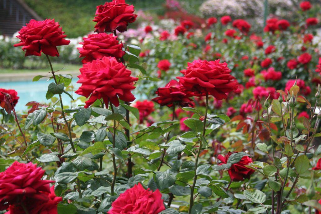 Rosas - Propriedades e indicações terapêuticas