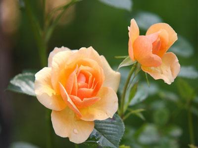 Pétalas de rosa são comestíveis