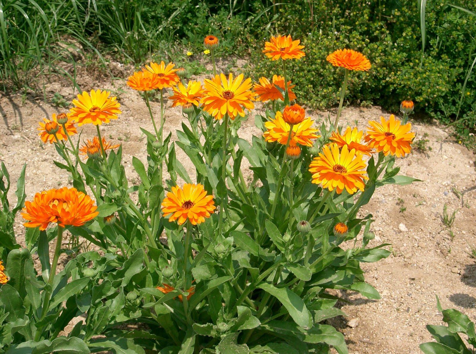 Plantas úteis para acabar com os animais prejudiciais na sua horta