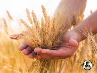 Cereais para semear em Novembro