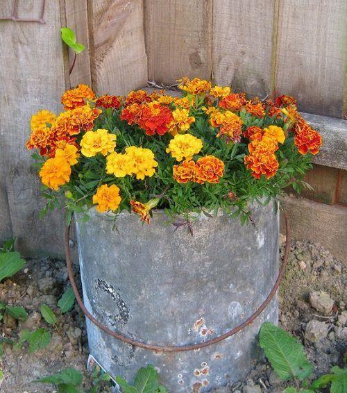 Cravo túnico - insecticida natural para a sua horta!