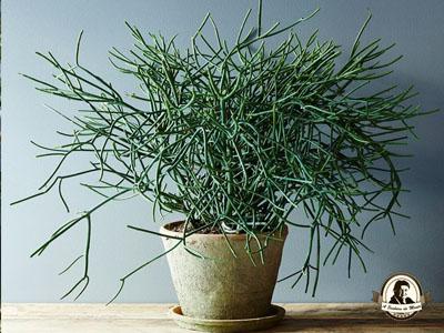 Euphorbia tirucalli L.