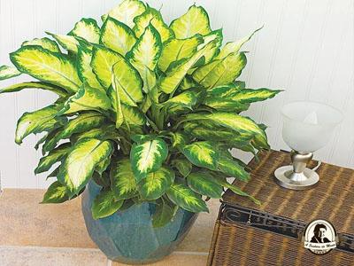Dieffenbachia spp