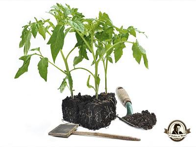 Folhagem do tomateiro