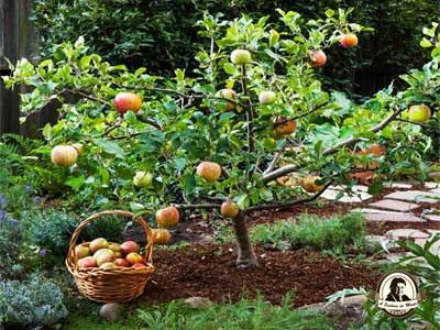 Quando devo plantar macieiras