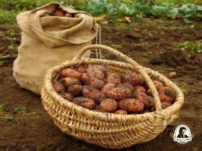 Propriedades das batatas