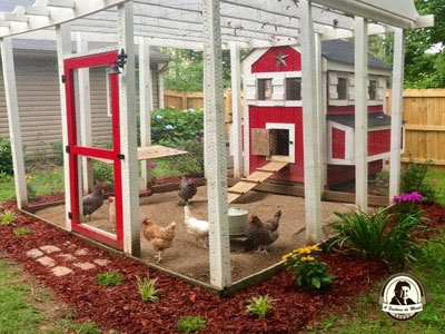 Mantenha o galiheiro limpo para que as suas galinhas não adoeçam