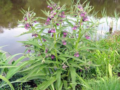 Diferentes usos da consolda na sua horta