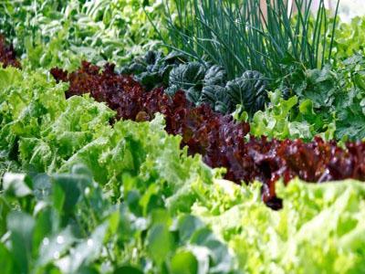 Regue a sua horta com sais Epsom diluído em água