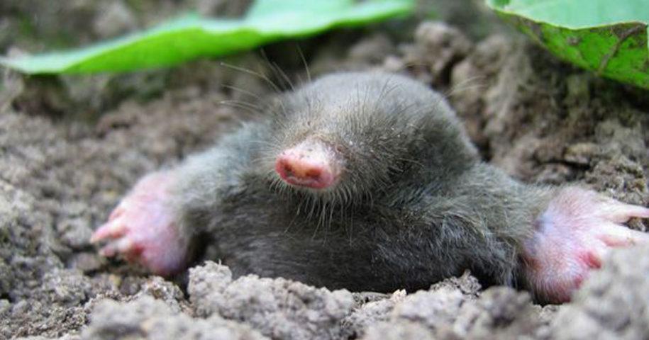 Afugente as toupeiras da sua horta com soluções naturais!