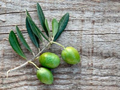 Folhas de oliveira