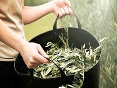 Propriedades terapêuticas das folhas de oliveira