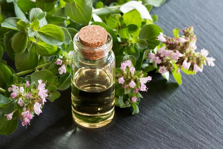 Benefícios do óleo essencial de orégãos