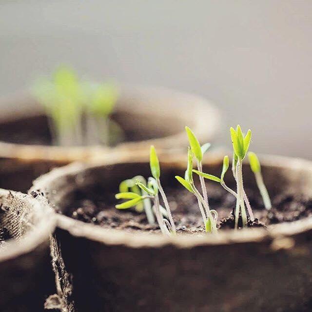 Aprenda a cultivar tomates em vasos