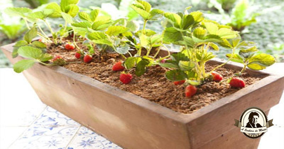 aprenda-a-plantar-morangos-na-sua-varanda
