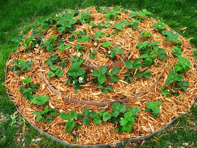Como plantar morangos no jardim