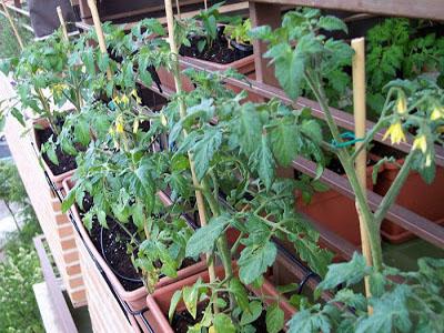 Como plantar tomateiros
