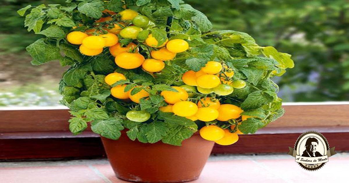 Como plantar tomateiros em vasos