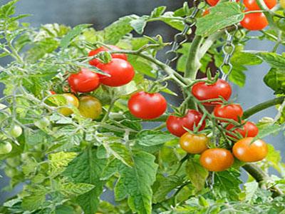 Como plantar tomates cereja