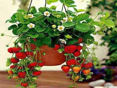 Como plantar morangos em floreiras suspensas