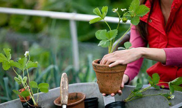 Aprenda a plantar morangos na sua varanda