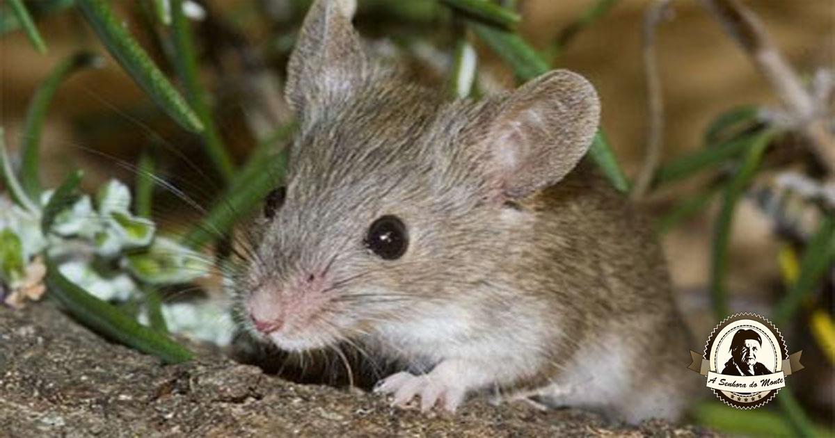 Livre-se das pragas de ratos  sem recorrer a químicos