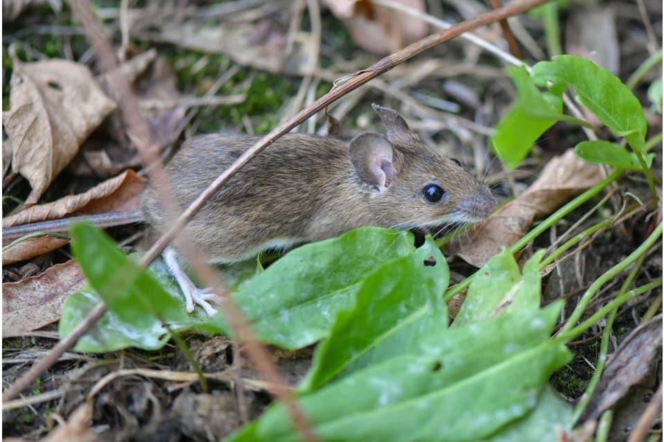 Aprenda a livrar-se de pragas de ratos com refrigerantes!