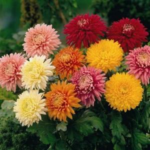 il-crisantemo_NG5