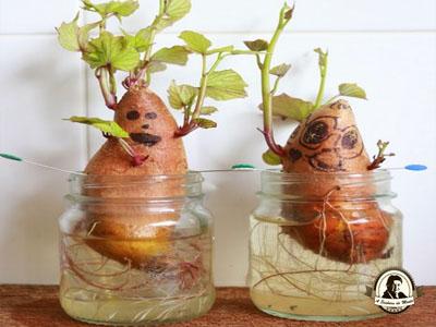 Como crescer batata doce em casa