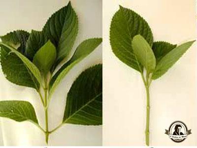 como-propagar-hortensias