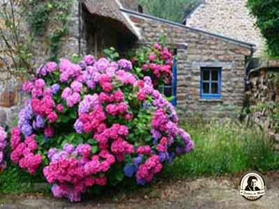 Como mudar a cor das hortênsias para rosa