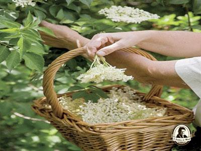 Colheita de flores de sabugueiro