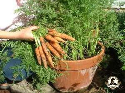 Como fazer cenouras em vasos