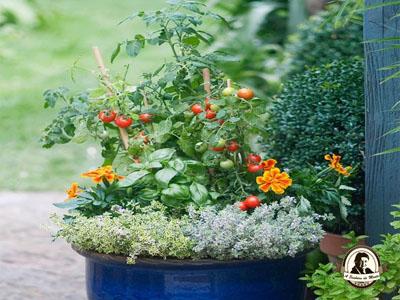 Como fazer tomates em vasos