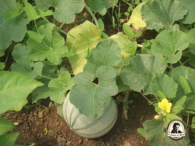 Cultivo de meloas e melões