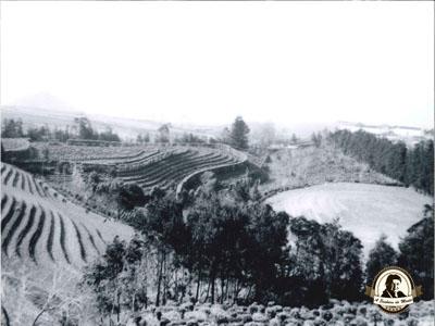 Gorreana - plantação de chá