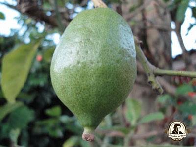 Cidra - fruto da cidreira