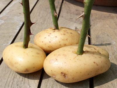 Como plantar rosas em batatas