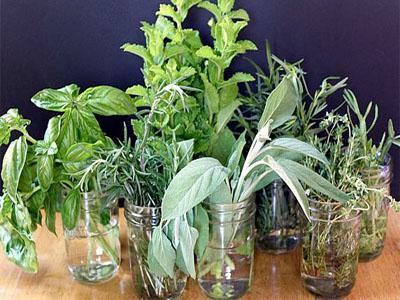 Ervas aromáticas que podem ser cultivadas o ano inteiro só com água