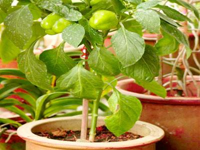 Aprenda a cultivar pimentos em vasos