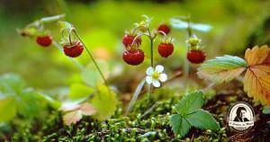 Conhece esta variedade de morangos em miniatura?