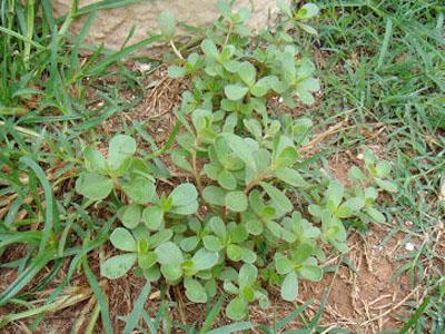 Beldroegas (Portulaca oleracea)