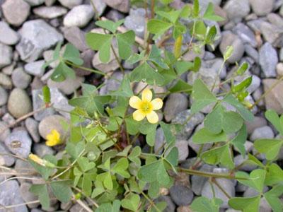 Azedinha/Trevo (Oxalis oxyptera)