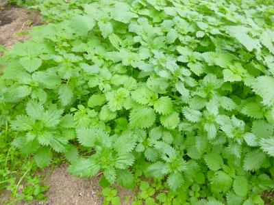 Urtigas (Urtica dioica)