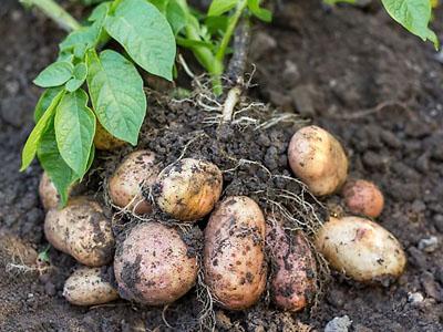Aprenda que plantas são companheiras das batatas